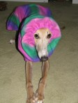 greyhound in colorful hoodie