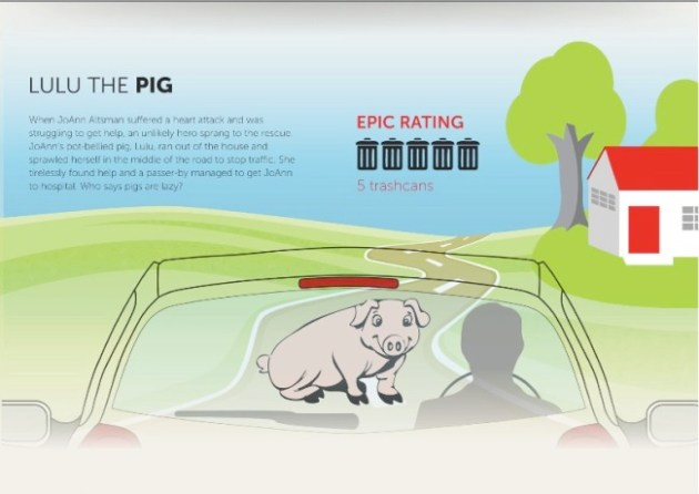 hero pig infographic
