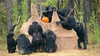 Chimpanzees probe a new termite mound with sticks. Photo Credit: Chimp Haven