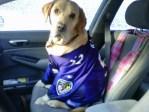 Baltimore Ravens dog fan