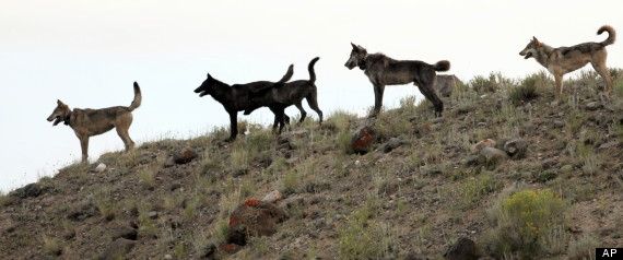In this August 2012 file photo provided by Wolves of the Rockies, the Lamar Canyon wolf pack moves on a hillside in Yellowstone National Park, Wyo. Photo Credit: AP Photo/Wolves of the Rockies, File
