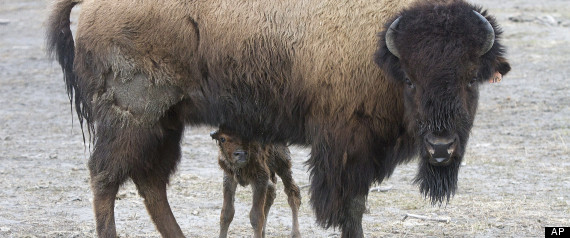 In this photo provided by the Alaska Wildlife Conservation Center, a wood bison calf is shown at the Alaska Wildlife Conservation Center on Wednesday, May 9, 2012, in Portage, Alaska. The first wood bison calf of the year was born this week at the Alaska Wildlife Conservation Center. Officials expect this to be the first of about 40 calves to be born at the center this spring. Photo Credit: AP Photo/Alaska Wildlife Conservation Center, Doug Lindstrand