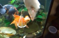Goldfish with Wheelchair