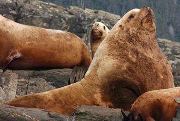 Steller Sea Lions in their natural Alaskan habitat. Photo Credit: alaska.gov