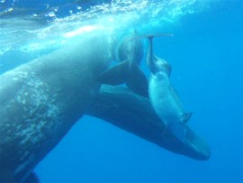 """The dolphin calf can be seen nuzzling a whale. The dolphin's spinal birth defect has given its back a shape that resembles half an """"S."""" Photo Credit: Alexander D. M. Wilson, Aquatic Mammals"""