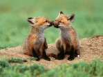 Animal Friends Foxes