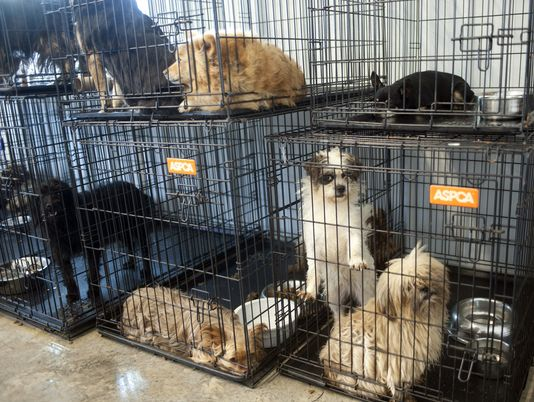 Dogs rescued from a suspected puppy mill are seen in pens at the Garrard County Animal Shelter near Lancaster, Ky. Garrard County authorities rescued 45 severely neglected dogs from the property. Photo Credit: Clay Jackson, AP