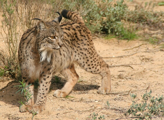 The Iberian Lynx is the world's most endangered wild cat. Photo Credit: catster.com