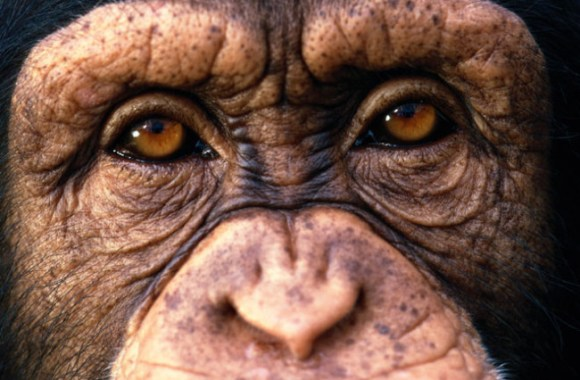 A UN report finds that nearly 3,000 great apes are killed or captured every year. Photo Credit: Corbis
