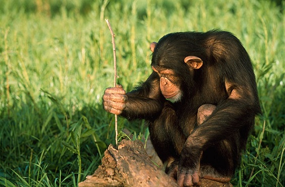 Chimpanzee uses tools and helps fellow chimps. Photo Credit: Corbis