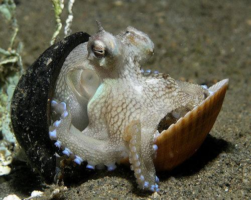 An octopus enjoying its recycled shelter. Photo Credit: Nick Hobgood, Wikimedia Commons