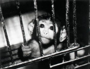 Harry Harlow first isolated infant primates from their mothers in the 1960s. Photo Credit: mibba.com