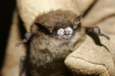 White-nose syndrome is detrimental to strict hibernation patterns in bats.  Photo Credit: National Parks Service