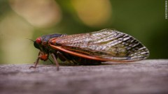 Cicada's will return to the East Coast as early as mid April, and stick around for a few weeks in spring. Photo Credit: CNN