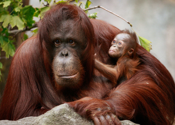 A secret population of rare orangutans has been found. Photo Credit: Zimbio
