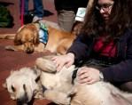 comfort golden retriever dogs visit boston