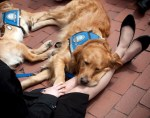 comfort therapy service dogs boston