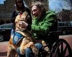 golden retrievers comfort boston