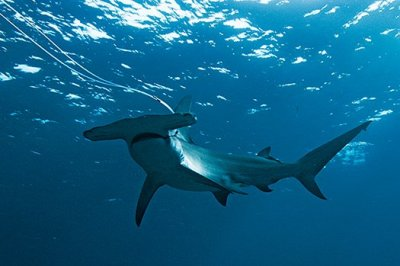 If the shark populations decline, the oceans will decline as well. Photo Credit: Peter Kragh