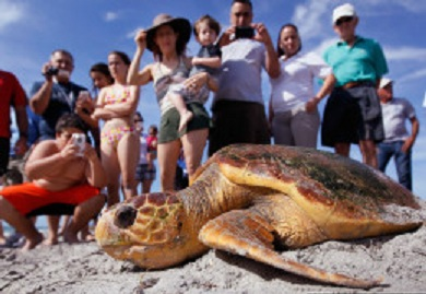 One of the two loggerhead sea turtles is released back into the wild at Bill Baggs Cape Florida State Park. Photo Credit: Joe Raedle, Getty Images