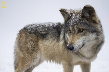 <p>The Mexican gray wolf (Canis lupus baileyi) is the most rare subspecies of gray wolf in North America. It is listed as critically endangered by the IUCN. Photo Credit: Joel Sartore, National Geographic</p>