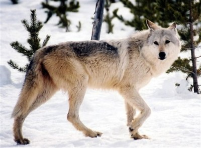 <p>An image provided by Yellowstone National Park, Mont., shows a gray wolf in the wild.