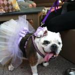 bull dog in wedding