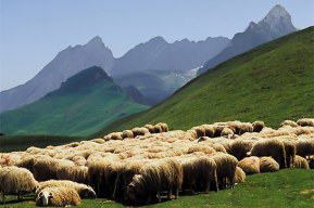 Check out the sheep grazing the Pyrenees mountain range. Photo Credit: loubetaspyrenees.com