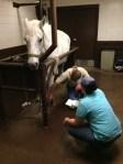 injured horse treated at oakridge equine hospital