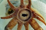 promachoteuthis sulcus aka gobfaced squid ugly animal