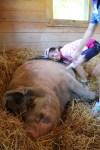 girl says hi to pig at catskill animal sanctuary