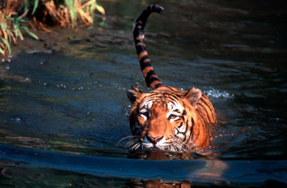 A third tiger was found dead at the Corbett Tiger Reserve in just one week. Photo Credit:  Rough Guides