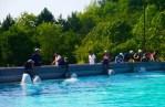 Marineland Beluga Whales Feeding