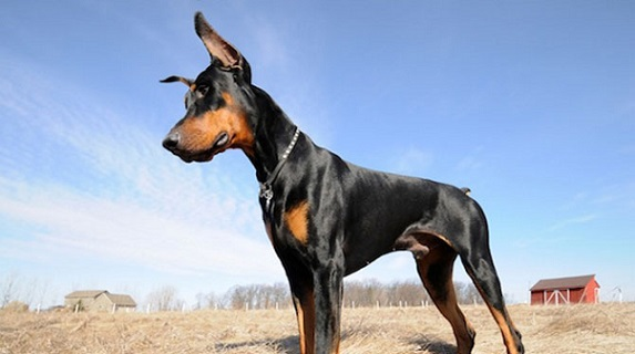 Dobermans appear to be the breed most at risk for OCD. Photo Credit: Tufts