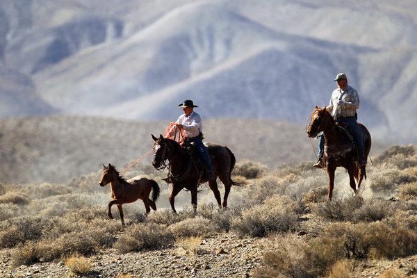 A cowboy employed by the Bureau of Land Management lassos a young, wild Mustang. Photo Credit: LA Times