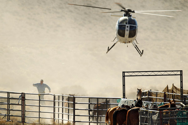 Mustangs are held in temporary corrals before being hauled away for auction. Photo Credit: LA Times