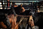 Wild Horses For Auction