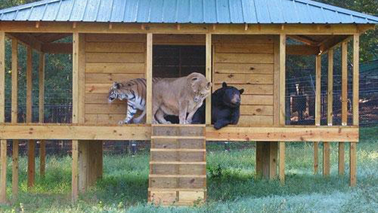Shere Khan, Leo and Baloo relax in their clubhouse at Noah's Ark animal rescue center. Photo Credit: Flickr, lemur baby