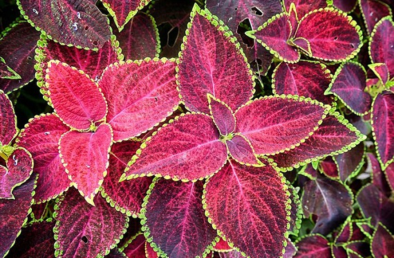 Coleus plants can cause vomiting in dogs and cats. Photo Credit: Roger Price, Wikimedia Commons