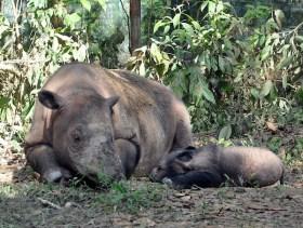 A Sumatran rhino and her baby. Photo credit: http://zooexplorer.files.wordpress.com