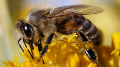 Honeybees population decline pesticides 400x224 25 Most Bizarre & Fascinating Animal Facts