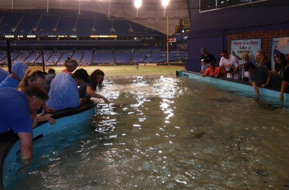 PETA wants the Tampa Bay Rays to remove their ray touch tank at Tropicana Field. Photo Credit: Flickr/Arctic_Whirlwind