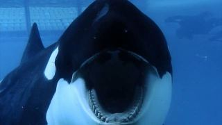 Tilikum one of the orcas at SeaWorld sits in captivity. (SEAWORLD/BLACKFISH)