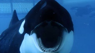 Tilikum one of the orcas at SeaWorld sits in captivity.