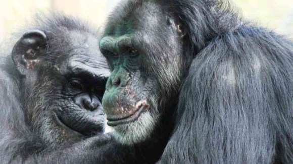 Photo Credit: Save the Chimps