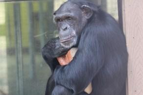 Jamie hugs her favorite toy...boots! Photo Credit: Chimpanzee Sanctuary Northwest
