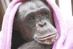 chimp in purple blanket