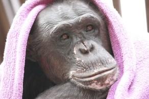 Negra dons a purple blanket. Photo Credit: Chimpanzee Sanctuary Northwest