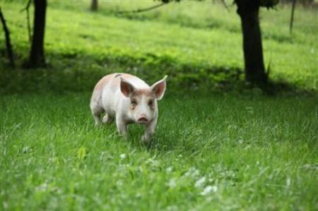 Piglet Winston frolicks in the field at Farm Sanctuary in Watkins Glen, NY after escaping urban slaughterhouse, also called live farms. Photo Credit: Associated Press/Farm Sanctuary