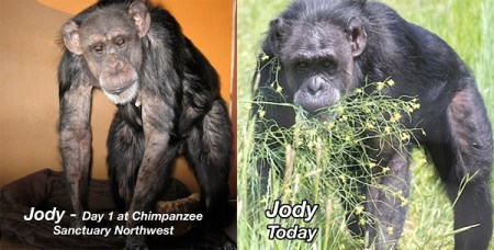 Jody before she came to the sanctuary and after. Photo Credit: Chimpanzee Sanctuary Northwest